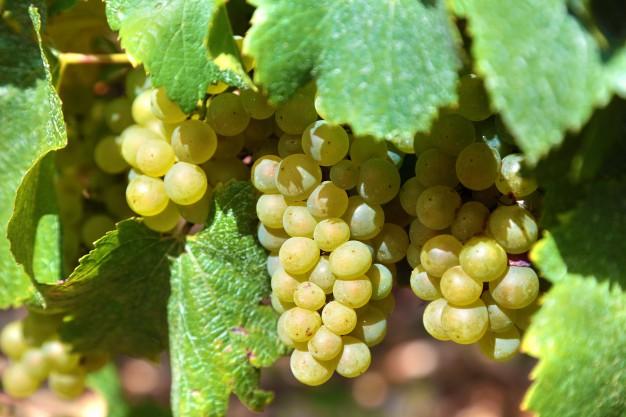 ワイン用ブドウと食用ブドウはどこが違う??