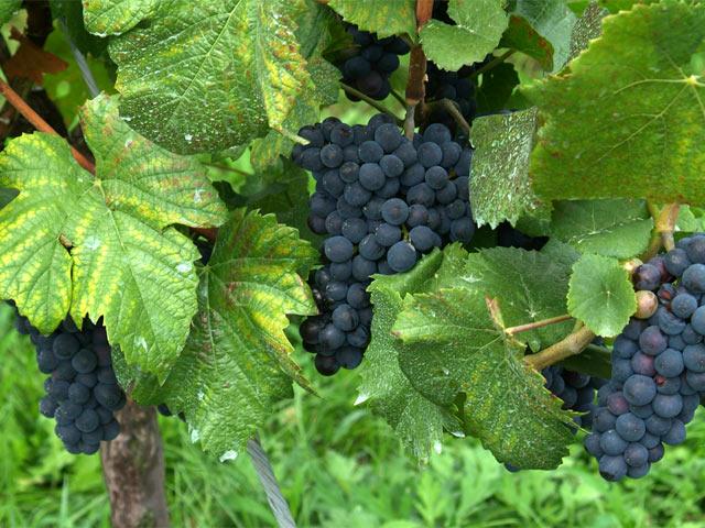 ワインは自然なお酒 良いワインは良いブドウから!