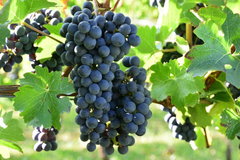 赤ワインを代表するブドウ「カベルネ・ソーヴィニヨン」