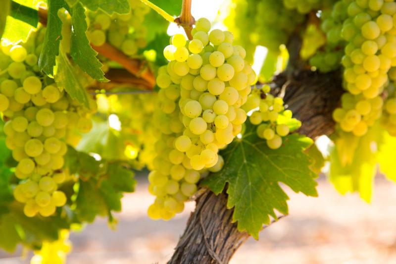 白ワインを代表するブドウ「シャルドネ」